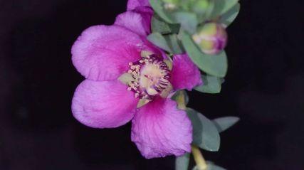 Thryptomene baeckeacea 'Pink Cascade'
