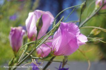 Alyogyne hakeifolia 'Melissa Anne'
