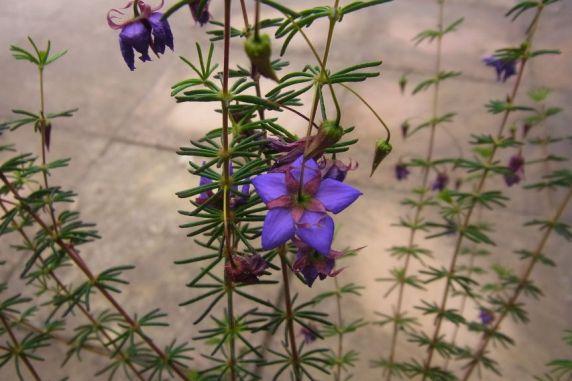 Platytheca galioides