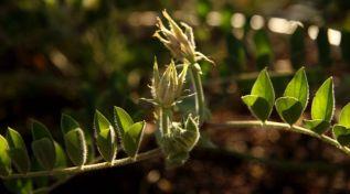 Swainsona formosa (Sturt desert Pea) bud