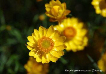 Xerochrysum viscosum