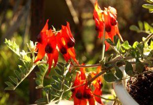 Swainsona formosa (Sturt Desert Pea)