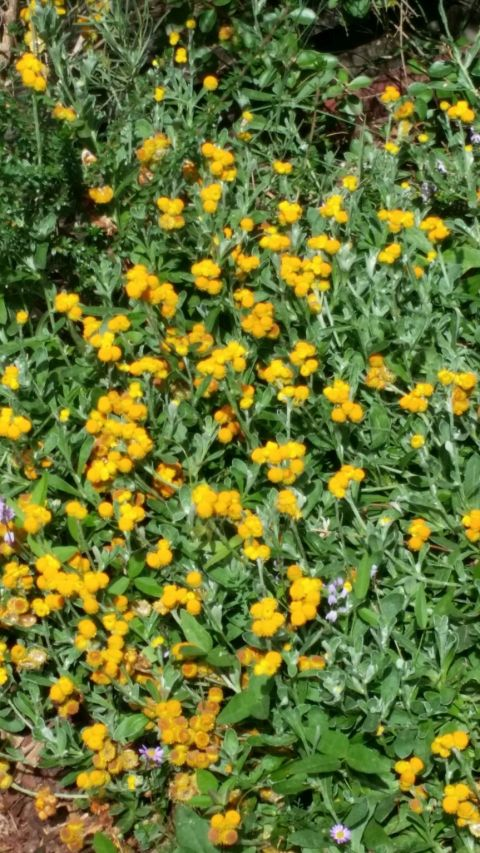 Chrysocephalum apiculatum