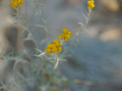 Chrysocephalum semipapposum