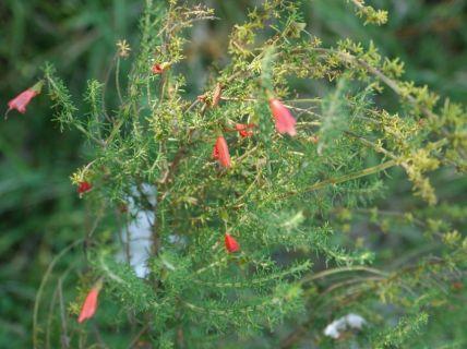 Prostanthera aspalathoides