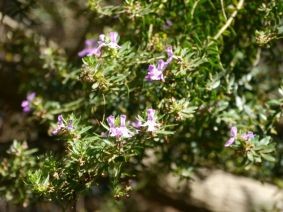Westringia glabra