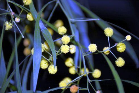 Acacia iteaphylla?