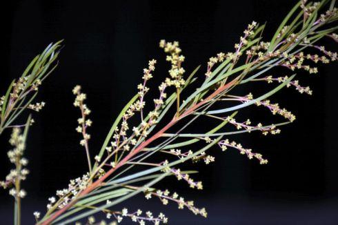 Acacia buds