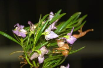 Eremophila abietina (Spotted Poverty Bush)
