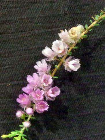 Verticordia pennigera