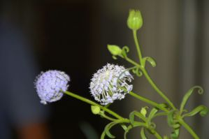 Trachymene coerulea (Blue Lace flower, Rottnest Island daisy)