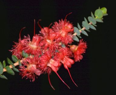 Verticordia grandis (Feather flower)