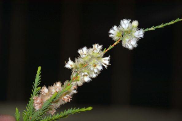 Verticordia luteola