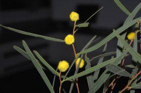 Acacia beckleri