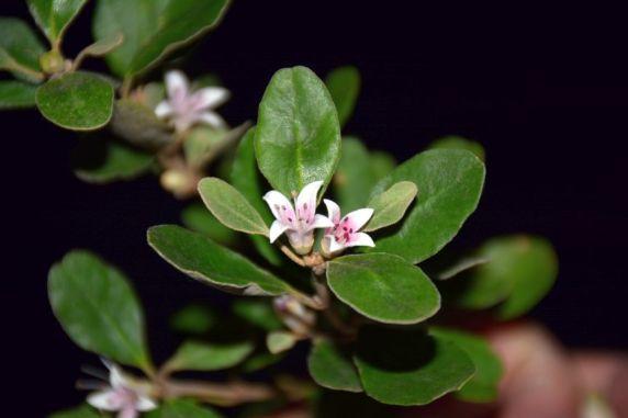 Correa alba pink form