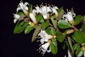 Correa pulchella, white form