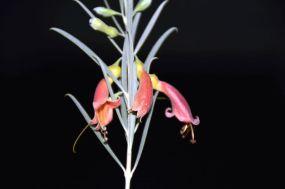 Eremophila youngii