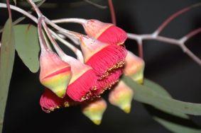 Eucalyptus 'Silver Princess'