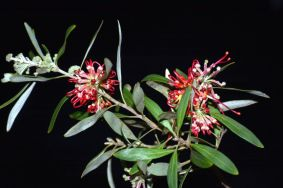 Grevillea olivaceae