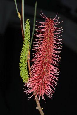 Hakea bucculenta x francisiana