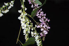 Hardenbergia violacea alba