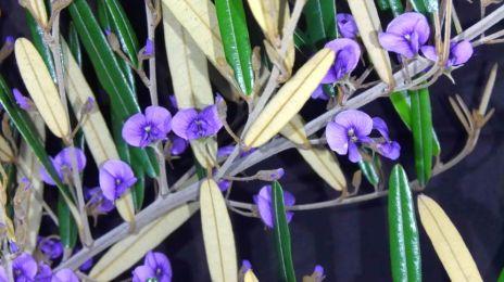 Hovea longifolia