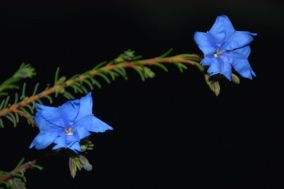 Lechenaultia biloba (Blue Leschenaultia)