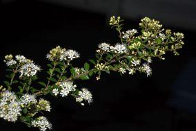 Leionema lamprophyllum (Shiny Phebalium)