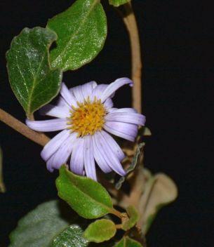 Olearia frostii (Bogong Daisy Bush)