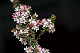 Philotheca verrucosa (Bendigo Waxflower)