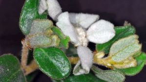 Spyridium coactifolium (Butterfly Spyridium)