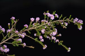 Thryptomene baeckeaceae