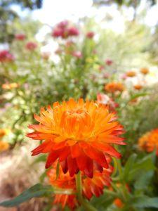 Xerochrysum bracteatum - Eltham