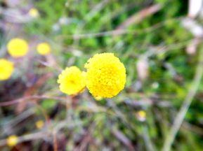 Leptorhynchos squamatus - Eltham